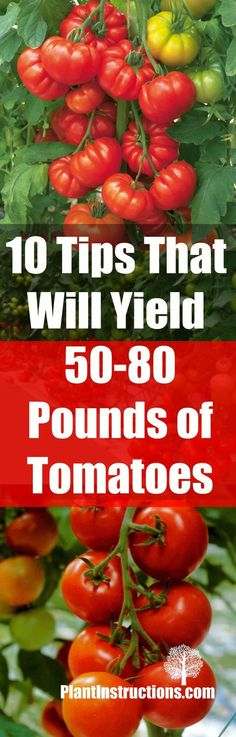 10 Tips That Will Yield 50-80 Pounds of Tomatoes | Plant Instructions