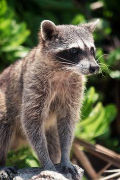 Endangered Cozumel Raccoon