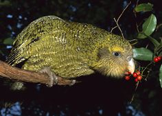 Kakapo - a flightless parrot and also nocturnal found in the island of New Zealand. It's in extreme danger of extinction due to habitat loss and attack of rats and feral cats. Ugly Animals, Cute Animals, Animals Amazing, Farm Animals, Flightless Parrot, Blobfish, Cod Fish, Wildlife Conservation, Endangered Species