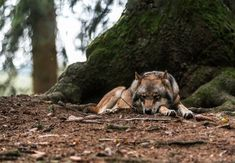 Wolf by Peter Helmer