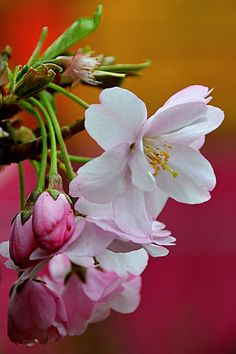 Cherry Blossom | Flickr - Photo Sharing!