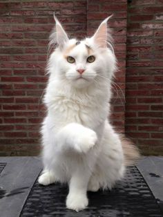 Gorgeous maine coon!
