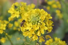 A bee enjoying our brightly flowering cime di rapa in late winter 2014.