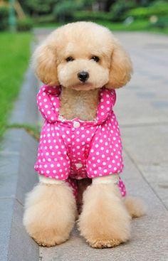 Teddy Bear Face poodle
