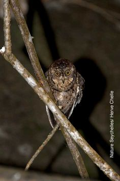 A photo of the elusive Seychelles scops owl taken on Mahe by French Photographer Herve Chelle. (http://savingparadise.wildlifedirect.org/2011/04/01/photographing-the-elusive-syer/#)