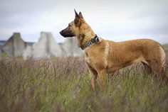 Belgian Malinois- is an alert, high-energy breed, popular as both a police and military working dog.He has an elegant build and light-boned, but does not lack for strength, agility or herding ability. He's an active participants in conformation, obedience, schutzhund, herding, sledding, and tracking
