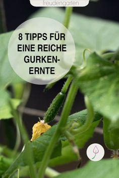 8 Tipps zum Anbauen und Pflanzen von Gurken im Garten, auf dem Balkon oder im Hochbeet. #Gemüsebeet #freudengarten