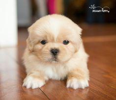 ... Pekingese ♡♡♡♡♡ | Pinterest | Pekingese Puppies, Pekingese