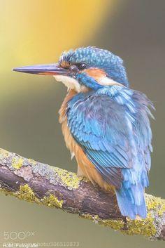 Eisvogel / Kingfisher