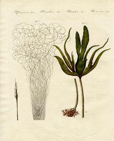 """COPPER ENGRAVING - """"Seaweed"""" - from Friedrich Bertuch's Bilderbuch für Kinder - 1790"""