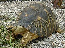 Geochelone radiata tortuga radiada vive en el sur de Madagascar, miden unos 40 cm y pesan 20 kg.
