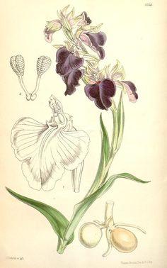 v.102 [ser.3:v.32] (1876) - Curtis's botanical magazine. - Biodiversity Heritage Library
