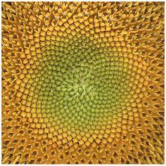 "Trademark Fine Art ""Sunflower"" Canvas Art by AIANA"