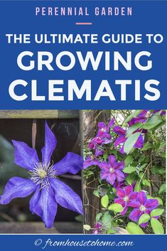 Learn how to prune, grow and care for Clematis vines to get those big purple, blue and pink blooms in your garden. This guide includes lots of pictures and a list of the best varieties to grow for your garden design. Clematis Care, Blue Clematis, Clematis Plants, Autumn Clematis, Clematis Flower, Perennial Flowering Vines, Clematis Varieties, Shade Perennials, Flowers Perennials