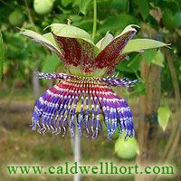 Interesting and Beautiful Tropical Fruit Plants Please note: Caldwell Nursery is a retail nursery, not a mail-order business. We do not ship plants. Fruit Plants, Flowering Vines, Passion Flower, Tropical, Nursery, Gardening, Kitchen, Flowers, Climbing Flowering Vines