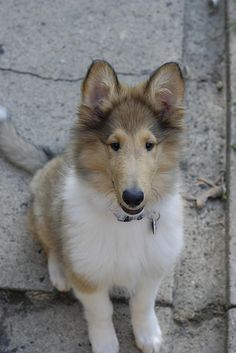 Looks like Buddy as a pup. Collies are maybe the most intelligent dogs.