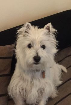Abbey West Highland White Terrier | Pawshake