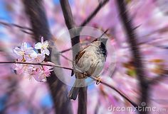 A blurred view of a spring sparrow on a blossoming sakura tree in Moscow in April