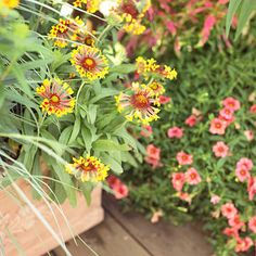 We love the way this tough little perennial blooms and blooms all summer long and then into autumn. The bright red, yellow, or orange flowers are great for cutting -- and will bring many butterflies to your yard. Plant Name: Gaillardia selections Growing Conditions: Full sun and well-drained soil Size: To 3 feet tall and 2 feet wide Zones: 3-8