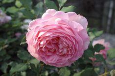 jubilee rose | Jubilee Celebration | Sperling Nursery & Gift Shop