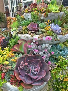 There is an abundance of beautiful succulents in the backyard of Darlina Marquez - Jeanette's Garden