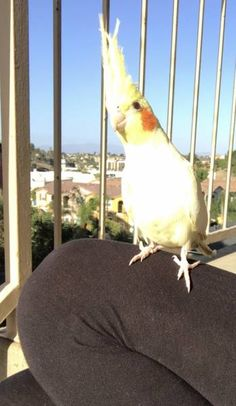 LOST COCKATIEL: 10/28/2017 - National City, California, CA, United States. Ref#: L37990 - #CritterAlert #LostPet #LostBird #LostParrot #MissingBird #MissingParrot #LostCockatiel #MissingCockatiel