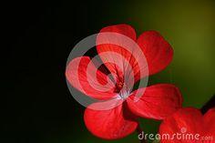 Macro di un fiore rosso geranio #microstock #marketing #webdesign #design #SEO #csstemplates #css #HTML5 #Websites #web2015 #web #websitetemplates