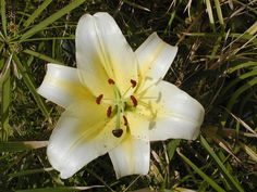 Lily, by Bill and Reta of Clyde Spring Flowers, Wild Flowers, Welcome Spring, Lily, Plants, Plant, Lilies, Planting, Planets