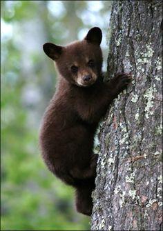 black bear cub - Rocky Mountain National Park