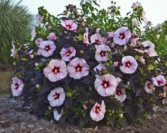 "How to Grow ""Dinner Plate"" Hibiscus  Perrenial 