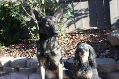 Kuma (German Shepherd) and Chanel (Miniature Poodle).