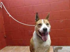 SENIOR NEEDS PLEDGES AND RESCUE! A3625019 My name is Ringo and I'm an approximately 9 year old male germ shepherd. I am already neutered. I have been at the Downey Animal Care Center since March 17, 2015. I am available on March 17, 2015. You can visit me at my temporary home at D417. https://www.facebook.com/photo.php?fbid=836862293060771&set=pb.100002110236304.-2207520000.1426791784.&type=3&theater