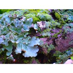 lichen are composite organisms consisting of a symbiotic relationship between a fungus (the mycobiont) and a photosynthetic partner (the photobiont or phycobiont), usually either a green alga (commonly Trebouxia) or cyanobacterium (commonly Nostoc). The morphology,