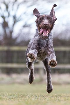 German wirehaired pointer.