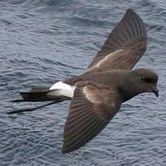 Painho-de-cauda-furcada (Oceanodroma leucorhoa)