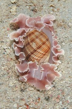 Hydatina physis, Bubble Snail, Bubble Shell, Aplustridae by lindsy.n.jones@