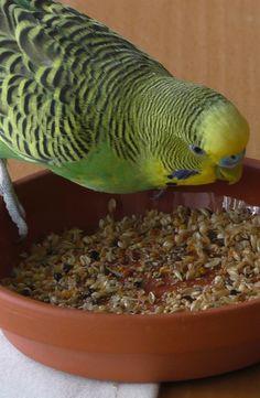 Filuzzo: Wellensittich - cocorita - papagallino - budgie
