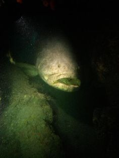 Marine Photobank: Photo Center  Goliath Grouper