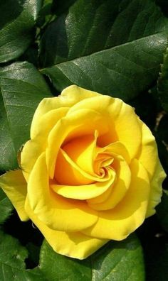 Rosengarten Rose Landora Discovering Your Dream Wedding ceremony Costume To have the ability to disc Beautiful Rose Flowers, Love Rose, Exotic Flowers, Amazing Flowers, Beautiful Flowers, Yellow Flowers, Pink Roses, Black Roses, Flower Phone Wallpaper