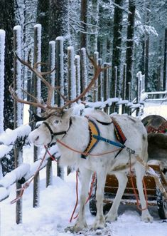 Our restaurant is located in the Santa Claus Reindeer resort in the center of the Santa Claus Village in Rovaniemi. This means that you can also profit of different reindeer rides and safaris.