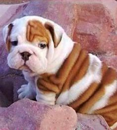 English Bulldog puppy ~ wrinkle baby!!