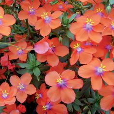"""'Wildcat Orange' - Anagallis hybrid - The new """"scarlet"""" pimpernel - Want this for next summer's containers"""