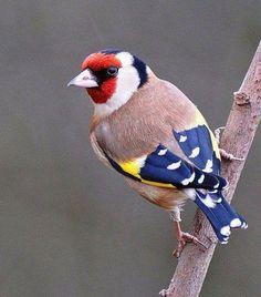 What a beauty. European Goldfinch
