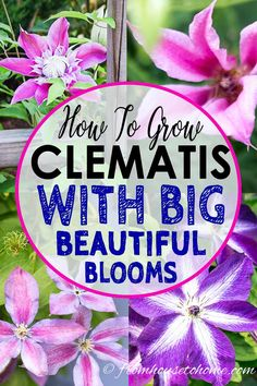 Learn how to prune, grow and care for Clematis to get those big purple, blue and pink blooms in your garden. This guide includes lots of pictures and a list of the best varieties to grow. #FromHousetoHome #clematis #gardeningtips #gardenideas #perennials #gardening