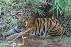 Tiger Awareness - saving tigers and supporting tiger conservation