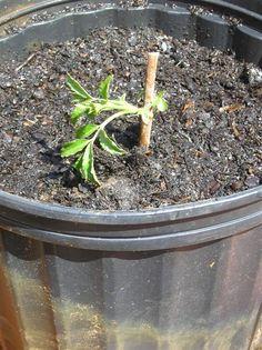 Propagating Elderberry Bushes