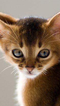 Длинные уши кошки крупным планом iPhone 5 (5S) (5C) обои - 640x1136