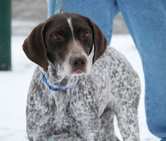 Frasier is an adoptable German Shorthaired Pointer Dog in Columbus, OH. ADOPTION APPLICATION Frasier is a sweet boy who just loves to be around people.� He can be a little shy with new people or in ne...
