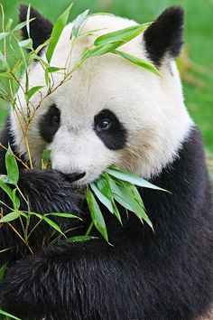 Among the many animals and one of my favorites is the Panda Bear. They are primitive to China. It is also legal to own and raise a Panda as a pet in China. Pandas are in danger of extinction and something needs to be done to save them. Panda Love, Cute Panda, Cute Baby Animals, Animals And Pets, Baby Pandas, Giant Pandas, Wild Animals, Beautiful Creatures, Animals Beautiful