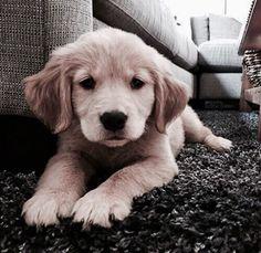 Golden retriever puppy Dog cute pets
